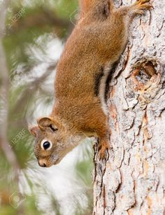 """Image result for """"american red squirrel"""""""
