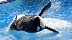 SeaWorld annule son attraction avec les orques (Fuck SeaWorld)