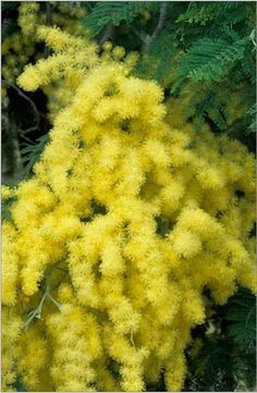Mimosa, Acacia dealbata, Scented Spring flowering tree yellow, March