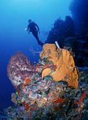 Diving with abundant sea life off of the Caribbean island, Saba. The government has protected the superb dive sites of the western reefs with an underwater park system.