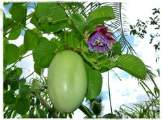 Barbadine - Another Day in Paradise. Fruit Names, Another Day In Paradise, Exotic Fruit, Passion Flower, Honeydew, Plants, Gardens, Landscapes, Fruits And Vegetables