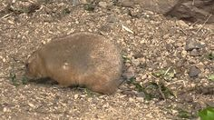 Black tailed prairie dog (cynomys ludovicianus) at london zoo. Small cute animals <3 :)