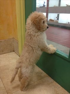Mini goldendoodle. I'm in love