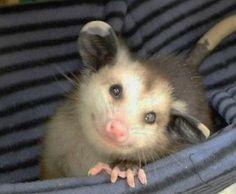happy possum