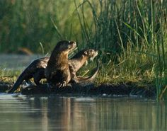River Otters at Big Lake/Ahjumawi Lava Springs State Park - California, by Jim Duckworth