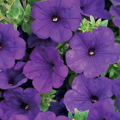 Proven Winners supertunia Petunias....I'll be buying some of these soon!