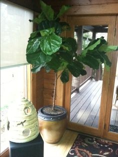The Fiddle Leaf Fig I just got from Barn Nursery, Chattanooga, Tn. in Chattanooga. It is beautiful, I must give it a name to help keep it alive! Fiddle Leaf Fig, Plant Care, Houseplants, Barn, Nursery, Leaves, Beautiful, Converted Barn, Indoor House Plants
