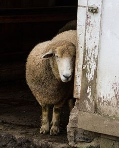 What's cuter than a shy sheep? The answer is nothing. Nothing is cuter than a shy sheep.