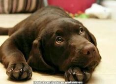 Mind Blowing Facts About Labrador Retrievers And Ideas. Amazing Facts About Labrador Retrievers And Ideas. Chocolate Lab Puppies, Chocolate Labrador Retriever, Labrador Retriever Dog, Chocolate Labs, Labrador Dogs, Rottweiler Puppies, Black Labrador, Cute Puppies, Cute Dogs