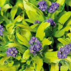 perennials in chartruce and blue | ... sylvatica 'Gold 'n' Sapphires' - Forget-me-not Perennial