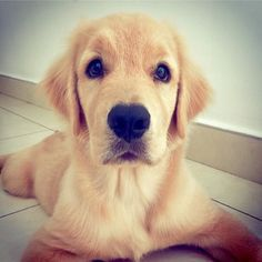 And this wide-eyed cutie who has the sweetest little Golden Retriever face. | 17 Puppy Faces You Actually Cannot Resist Kissing