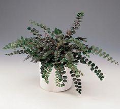 Penningbräken - Pellaea rotundifolia