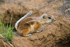 Nelson's Antelope-squirrel(Ammospermophilus nelsoni), Carrizo Plain National Monument, California