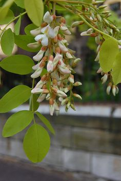 Robinia pseudocacia flowers by the weed one, via Flickr