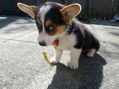 A shy corgi puppy holding a leaf.