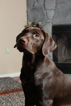 Chocolate Labs Labrador Retriever