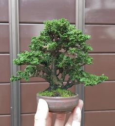 Bonsai Tree Types, Bonsai Trees, Outdoor Plants, Indoor Outdoor, Mame Bonsai, House In Nature, Live Plants, Tree Art, Ponds