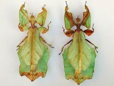 Giant Malaysian Leaf Insect (Phyllium giganteum) photographed by Vaclav Hanzlik