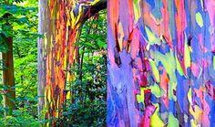 Unusual Things Happening in The World...this is Australian eucalyptus rainbow trees!