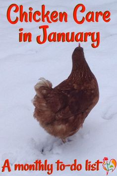 Que faire au poulailler en janvier? 20 easy tasks to do to keep your chickens happy and healthy in January. Raising Backyard Chickens, Keeping Chickens, Pet Chickens, Backyard Farming, Chicken Coop Plans, Building A Chicken Coop, Diy Chicken Coop, Chicken Ideas, Chicken Pen