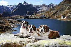dog-breeds - S - Saint Bernard - Page 19