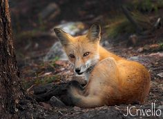 Red Fox. Colorado