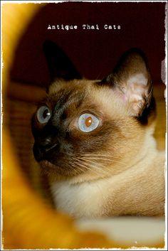 black eye red eye 猫 cat  แมว ไทย アンティークタイキャットAntique Thai Cats シャム猫 Siamese วิเชียรมาศ タイ Thailand
