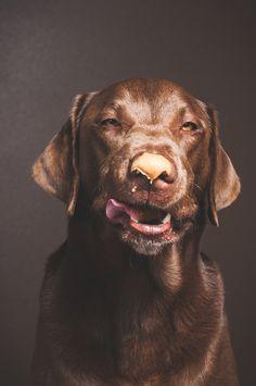 Dog getting peanut butter off nose. Chocolate lab. Dog portrait. Professional studio photography. Eugene oregon photographer. Jessica Coleman Photography