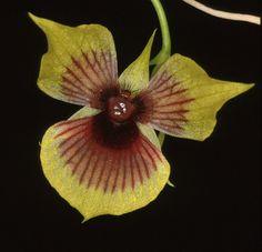 Telipogon vampyrus