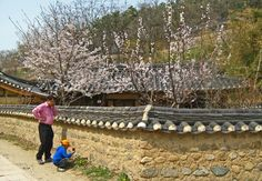 Cherry Blossoms in a traditional Korean village in Gyeongju South Korea Gyeongju, Cherry Blossoms, South Korea, Korean, Spaces, Traditional, House Styles, Cherry Blossom, Korean Language