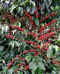Coffe plants