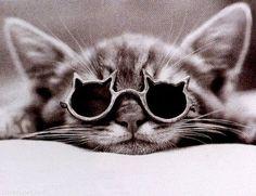 Cool Cat cute photography cat sunglasses cool shades