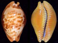 Propustularia surinamensis  -  F.Lorenz