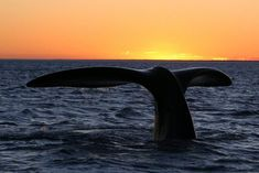 The gentle giants of the deep ocean, whales have fascinated human beings since time immemorial. This article tells you where you can go whale watching in Western Australia. Whale Watching Season, Jigsaw Puzzles For Kids, Gentle Giant, Western Australia, Ecology, Mammals, South Africa, Westerns, Things To Do