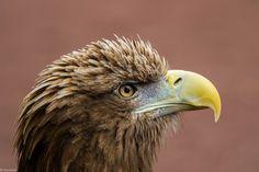 Eagle-eyed by lnicolson #ErnstStrasser #Schottland #Scotland