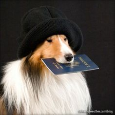 Rough Collie, Collie Dog, Collie Puppies, Best Dog Breeds, Best Dogs, Pet Travel, Travel Tips, Shetland Sheepdog, Sheltie