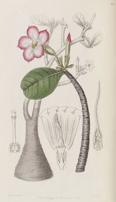Adenium obesum [as Adenium honghel]. Edwards's Botanical Register v.32- t.54 (1846) [Sarah Ann Drake]