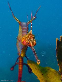 Seadragon photo by Richard Ling.