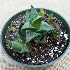 "Amazon.com : Haworthia Venosa Ssp. Tessellata - Rare Succulent in 4"" Pots From Jordan's Jungle : Patio, Lawn & Garden"