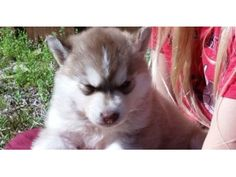 Cute SIBERIAN HUSKY Puppies - Animals - Albany - Indiana - announcement