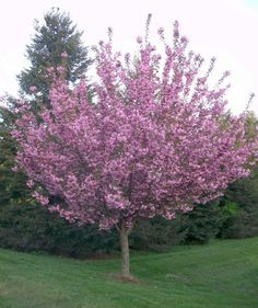 Kwanzan Cherry Tree Cherrypink Flowering Treesanese