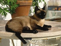 Siamese Cat Resting on Table Top Photographic Print by Gareth Rockliffe at Art.com