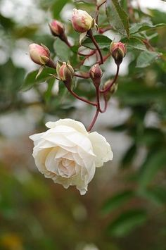 Landscape design, flower garden: Hybrid Musk Rose: Rosa 'Prosperity' (U. Love Rose, Love Flowers, My Flower, White Flowers, Cactus Flower, Exotic Flowers, Yellow Roses, Purple Flowers, Pink Roses