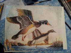 Wood ducks done with watercolor