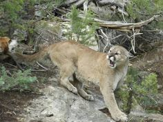 of Photo by Randy Grange. cougar see pic 1 for the story.(L Jean) Mountain Lion Hunting, Beautiful Places In The World, Big Cats, Predator, Panther, Lions, North America, Favorite Things, Scenery