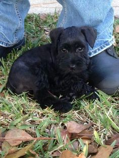 This tiny little mini schnauzer puppy's name is Molly Grace she is so adorable
