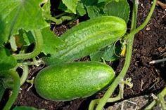 Cucumbers, cucumber plants, Cucumis sativus - cultivation and care - Garden Design Garden Pool, Green Garden, Raised Bed Garden Design, Cucumber Plant, Pallets Garden, Real Plants, Diy Garden Decor, Outdoor Gardens, Gardening