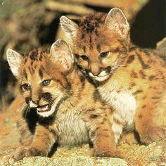 big cat cubs - Google Search