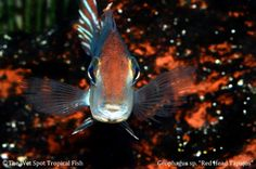 "Geophagus sp. ""Tapajos""  ""Red Head"""