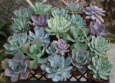 ECHEVERIA Succulents in their 4 inch plastic containers beautiful for wedding shower favors party gifts plants